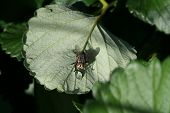 stock photo of blowfly  - Bow fly sitting on a leaf drinking a water drop - JPG
