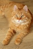 Portrait of red cat on wooden floor background