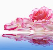 Pink Rose And Water .