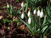 Spring snowdrop flowers in the forest