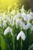 image of snowbell  - Snowdrop- spring white flower with bright shiny sun