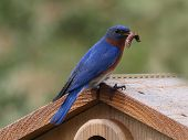 Bluebird with Dinner