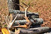 Deer antlers resting on firewood pile
