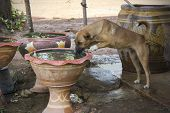 Homeless Dog Is Drinking Water In Fish's Pond