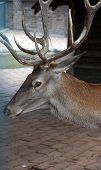 picture of zoo  - Deer in the Zoo Park - JPG