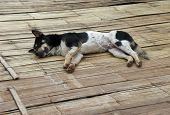 picture of spotted dog  - a black and white spotted dog resting on wooden ground seen in Thailand - JPG