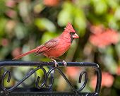foto of cardinal-bird  - Male Cardinal perched on black iron chair back - JPG