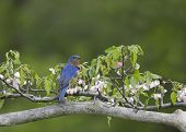 picture of bluebird  - Male Eastern bluebird perched amid flowers with green background - JPG