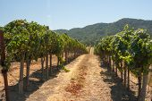 pic of vines  - Grapes on the vine in drought ridden California - JPG