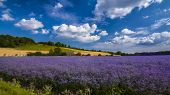 picture of mile  - A mile long field of purple - JPG