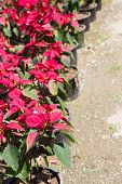picture of poinsettias  - christmas rose or poinsettia tree in the pot - JPG