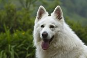 pic of swiss shepherd dog  - portrait of a beautiful white swiss shepherd - JPG