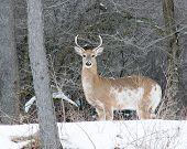 picture of deer rack  - Piebald Whitetail Deer Buck standing in a woods - JPG
