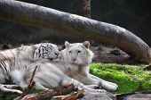 stock photo of white-tiger  - Two white tigers in a habitat - JPG