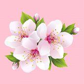 stock photo of cherry  - Branch of white blossoming sakura  - JPG