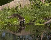 picture of raccoon  - Little raccoon drinking from a peaceful lake with reflection - JPG