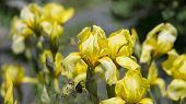 stock photo of cluster  - Yellow Irises - JPG