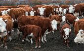 pic of hereford  - Cows of Hereford Cattle grazing in a pasture in Patagonia - JPG