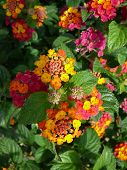 pic of lantana  - Red and yellow Lantana camara flower Alora Andalucia - JPG
