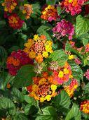 image of lantana  - Red and yellow Lantana camara flower Alora Andalucia - JPG