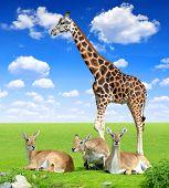 foto of antelope horn  - Red lechwe antelope with giraffe on meadow - JPG
