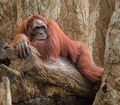 image of orangutan  - Adult orangutan lying deep in thoughts on a tree trunk - JPG