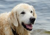stock photo of racy  - Portrait of wet golden retriever dog after swimming in the sea - JPG