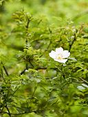 foto of wild-brier  - deyail of a wild rose in a field in la spezia - JPG
