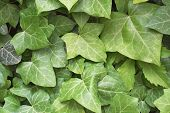 picture of english ivy  - green ivy leaves in Prague city center - JPG