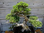 picture of bonsai  - decorative Bonsai tree in a japanese garden - JPG
