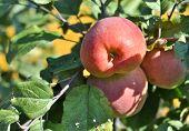 image of apple tree  - Apples ripen on the trees - JPG