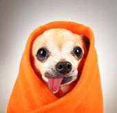 pic of tongue licking  - a cute chihuahua eith his tongue hanging out and a blanket wrapped around him isolated on a while background in the studio - JPG