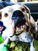 picture of high-def  - Adorable white boxer dog giving kisses gets close up and personal  - JPG