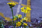 picture of tansy  - Ragwort  - JPG