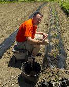 picture of tomato plant  - A happy organis farmer happy after planting a row of tomato plants - JPG