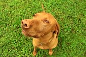 image of hungarian  - Hungarian pointer in the nature at summer - JPG