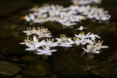 stock photo of floating  - Styrax japonicus floating on top of creek water in Sunchang Gangcheon mountain in South Korea - JPG