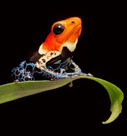 stock photo of poison arrow frog  - red head poison dart frog Ranitomeya fantastica tropical amphibian from Amazon jungle in Peru - JPG