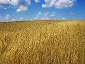 golden wheat field under a cloudy blue sky