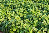 bean field