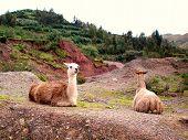 Alert Llamas