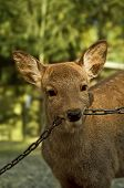Deer Biting On Chain