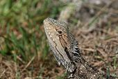 Bearded Dragon lizard Australia