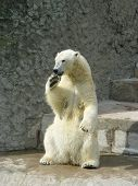 pic of polar bears  - polar she - JPG