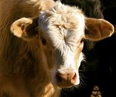 stock photo of charolais  - curious charolais steer staring down the photographer - JPG