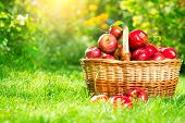 Organic Apples in a Basket outdoor. Orchard. Autumn Garden. Harvest season concept. Harvesting. Pick poster