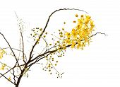 pic of vishu  - Branch of blossom from the golden shower tree isolated with clipping path - JPG