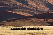 Desert Ostriches