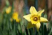spring yellow flowers narcissus on green background