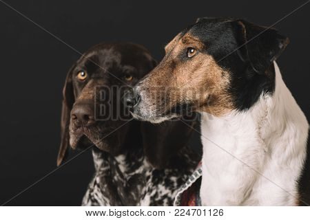 poster of Sleepy dogs at home. Two cute dog portrait. Friendship concept. Terrier and German pointer dog resti